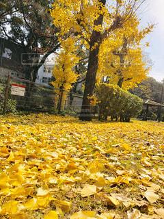秋,屋外,黄色,景色,樹木,イチョウ,銀杏,イエロー,yellow