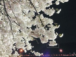夜桜見物の写真・画像素材[1661612]