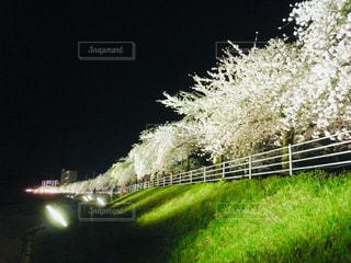 夜桜見物の写真・画像素材[1695089]