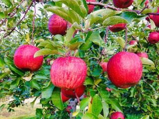 リンゴ狩りの写真・画像素材[1764449]