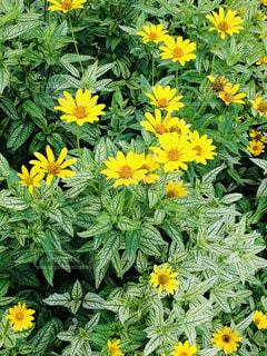 庭の黄色の花の写真・画像素材[1848402]