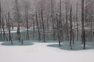 自然,冬,屋外,白,北海道,氷,樹木,青い池,美瑛,白と青,青い池 凍る