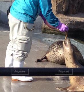 旭山動物園のアシカと飼育員の写真・画像素材[1663099]