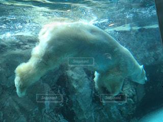 白くまが泳いでますの写真・画像素材[1663107]