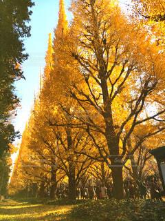 秋を感じるいちょう並木の写真・画像素材[1597628]
