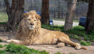 動物,屋外,緑,サファリパーク,ライオン,日中,ミルクティー色