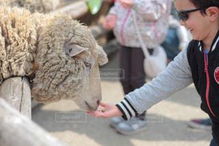 羊さんに餌やりの写真・画像素材[2285075]