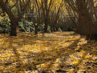 風景,空,秋,屋外,垂水,千本イチョウ