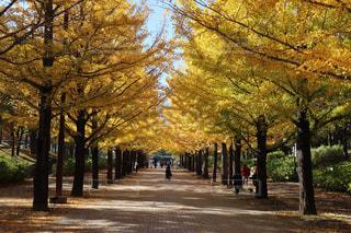 秋,イチョウ並木,福島市,あづま運動公園