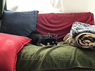 家族,犬,動物,チワワ,お部屋,黒,室内,ペット,愛犬,まったり,ブラタン