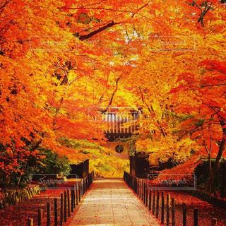 秋,紅葉,明るい
