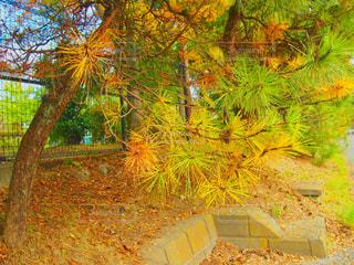 カラフル松の木の写真・画像素材[1617636]