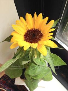 インテリア,ひまわり,黄色,お花,鮮やか,オシャレ