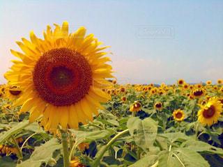 花,夏,屋外,ひまわり,散歩,黄色,鮮やか,ひまわり畑,野外