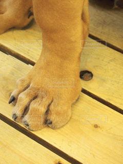 土佐犬の足の写真・画像素材[1836772]