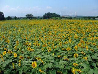 花,夏,花畑,ひまわり,向日葵,イエロー,ひまわり畑,黄,yellow,ヒマワリ
