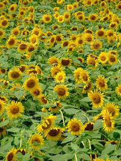 夏,花畑,ひまわり,黄色,向日葵,日本,イエロー,ひまわり畑,黄,yellow,ヒマワリ
