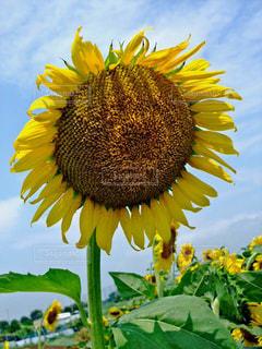 花,夏,花畑,ひまわり,黄色,向日葵,日本,イエロー,ひまわり畑,黄,yellow,ヒマワリ