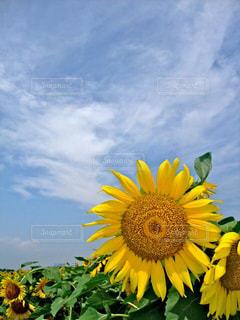 空,花,夏,花畑,ひまわり,青,青い空,黄色,向日葵,日本,イエロー,ひまわり畑,黄,yellow,ヒマワリ