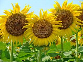 空,花,夏,花畑,ひまわり,黄色,向日葵,日本,イエロー,ひまわり畑,黄,yellow,ヒマワリ