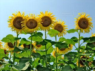 空,花,夏,花畑,ひまわり,青い空,黄色,向日葵,日本,イエロー,ひまわり畑,黄,yellow,沢山,ヒマワリ