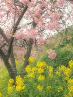 花,桜,黄色,菜の花,日本,イエロー,黄,河津桜,yellow