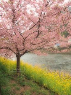 花,桜,屋外,ピンク,黄色,川,菜の花,景色,日本,イエロー,野外,黄,河津桜,yellow