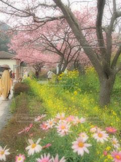 花,春,桜,屋外,ピンク,黄色,川,葉,菜の花,景色,お花,草,日本,イエロー,野外,黄,河津桜,草木,yellow