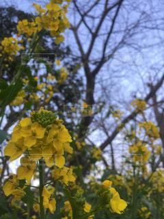 空,花,春,屋外,黄色,菜の花,外,日本,イエロー,野外,黄