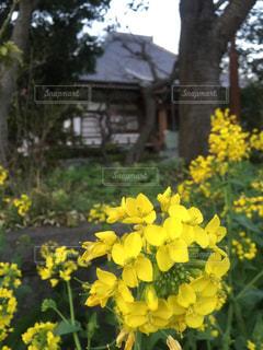 花,春,屋外,黄色,菜の花,外,日本,イエロー,野外,寺,黄