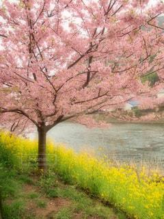 空,花,春,桜,屋外,ピンク,綺麗,川,菜の花,花見,景色,観光,旅,日本,河津桜