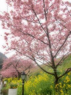 花,春,桜,屋外,ピンク,綺麗,菜の花,花見,観光,旅,街灯,日本,河津桜