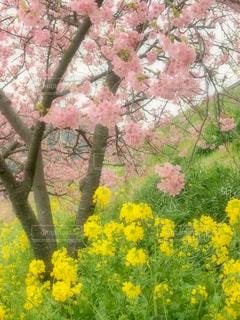 花,春,桜,屋外,ピンク,綺麗,菜の花,花見,観光,旅,日本,河津桜