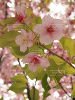 春,桜,木,屋外,ピンク,綺麗,葉っぱ,花見,日本