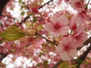 桜クロースアップの写真・画像素材[1848430]