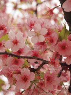 可愛いピンクの桜アップの写真・画像素材[1848433]