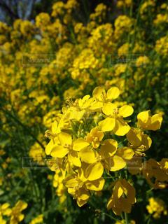 花,春,屋外,綺麗,黄色,菜の花,背景,日本,イエロー,Snapmart,黄,素材,写真素材,フォトコンテスト