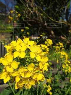 花,春,屋外,綺麗,黄色,菜の花,日本,イエロー,黄