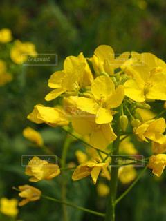 花,黄色,菜の花,イエロー,Snapmart,黄,クロースアップ,写真素材,フォトコンテスト