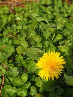 花,春,黄色,たんぽぽ,イエロー,黄,クロースアップ