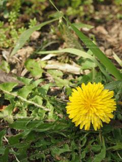 花,春,たんぽぽ,イエロー,黄,クロースアップ