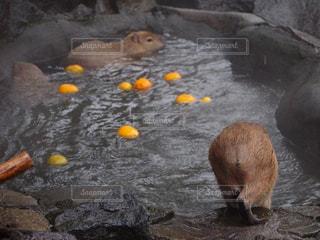 カピバラ温泉の写真・画像素材[1858235]