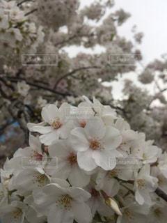 桜、満開〜の写真・画像素材[1875449]