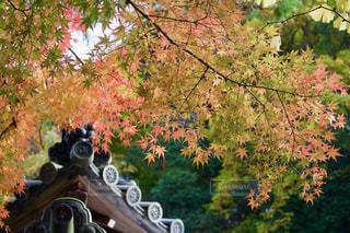 秋,紅葉,もみじ,鎌倉,Autumn,明月院