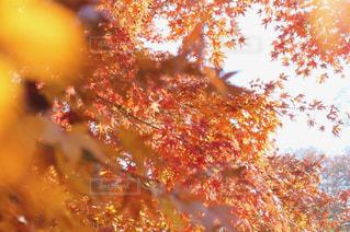 秋,紅葉,もみじ,新宿,Autumn,新宿御苑,モミジ