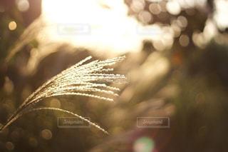 自然,秋,ススキ,昭和記念公園,Autumn