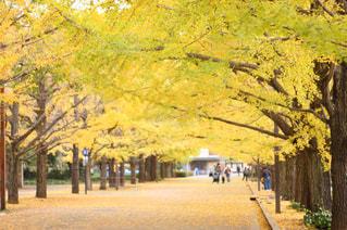 秋,紅葉,イチョウ,銀杏,昭和記念公園,Autumn,国営昭和記念公園,銀杏並木