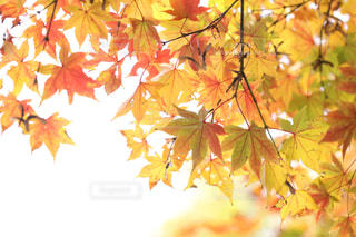 秋,紅葉,もみじ,日本庭園,昭和記念公園,Autumn,グラデーション,国営昭和記念公園,モミジ