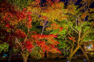 自然,風景,秋,紅葉,森林,屋外,京都,神社,カラフル,樹木,ライトアップ,日本,KYOTO,東寺,japan,草木,モミジ