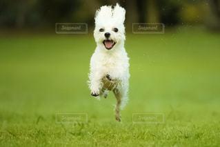 犬,ジャンプ,未来,マルチーズ,ドッグラン,ポジティブ,飛行犬,可能性,ポジティブ犬